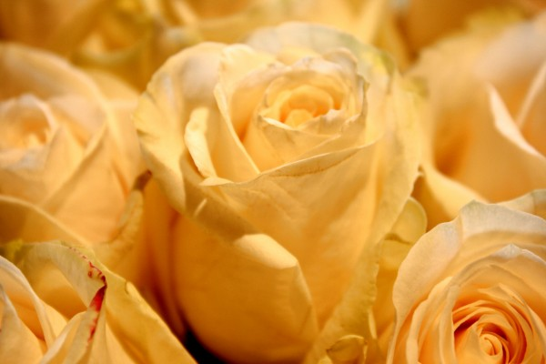 White Roses Close Up - Free High Resolution Photo