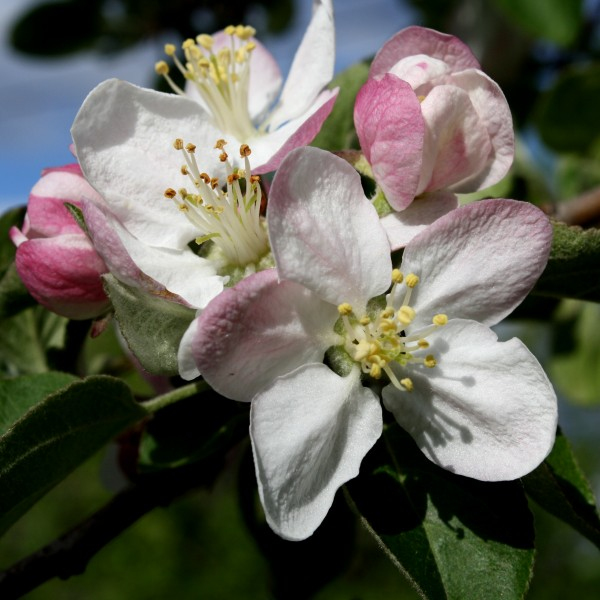 Apple Blossoms Close Up - Free High Resolution Photo