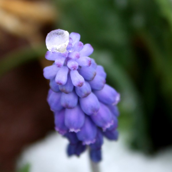 Ice Atop Grape Hyacinth Flowers - Free Photo