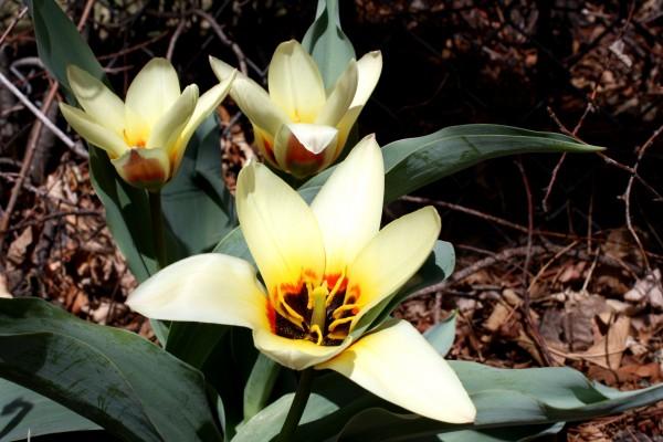 Kaufmanniana Tulips - Free High Resolution Photo