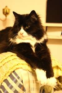 Long Haired Black and White Cat - Free High Resolution Photo