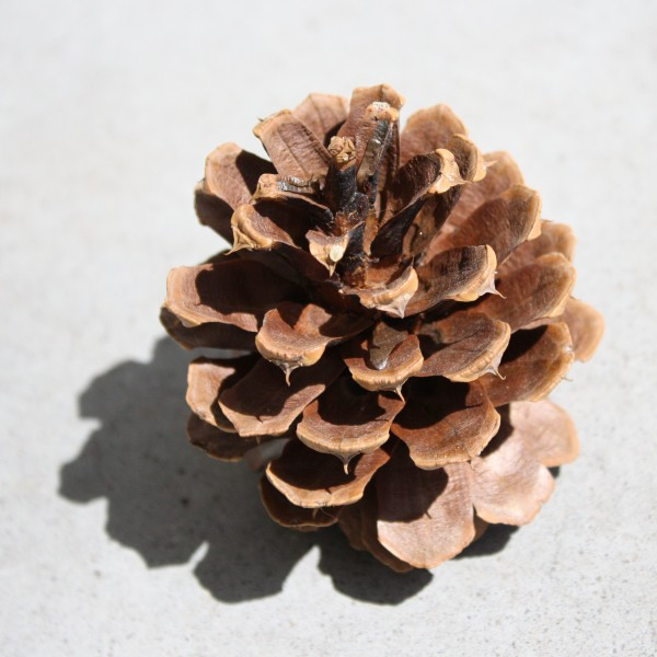 Pine Cone - Free High Resolution Photo