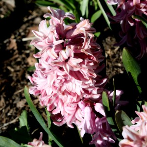 Pink Hyacinth Flowers - Free High Resolution Photo