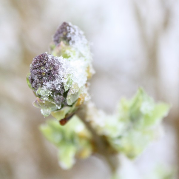 Snow on New Lilac Buds - Free Photo