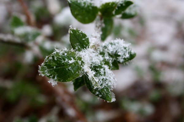Snowflakes on Spring Leaves - Free High Resolution Photo