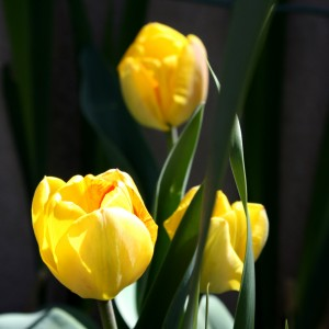 Three Yellow Tulips - Free High Resolution Photo