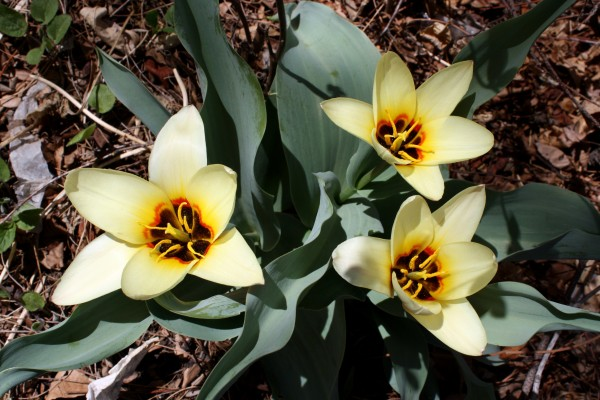 Three Yellow Water Lily Tulips - Free High Resolution Photo