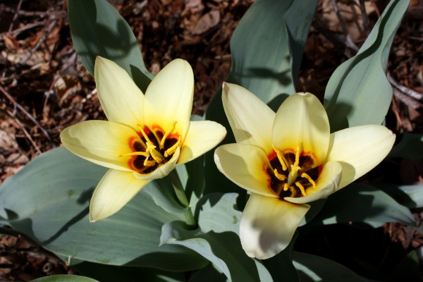 Two Kaufmanniana or Waterlily Tulips - Free High Resolution Photo