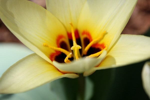 Yellow Water Lily Tulip Close Up - Free High Resolution Photo
