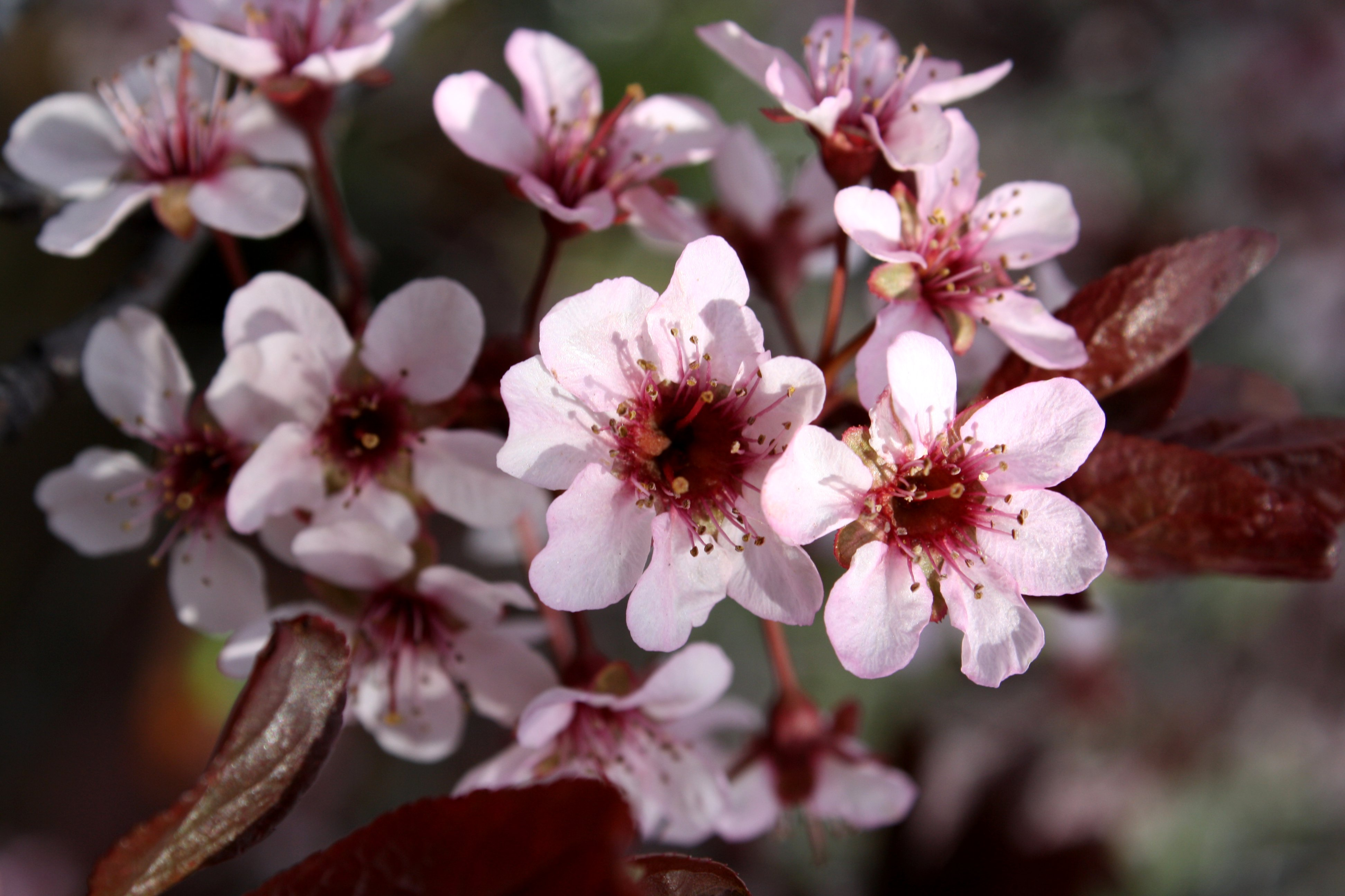 Pink Blossoms On Thundercloud Plum Tree Picture Free Photograph
