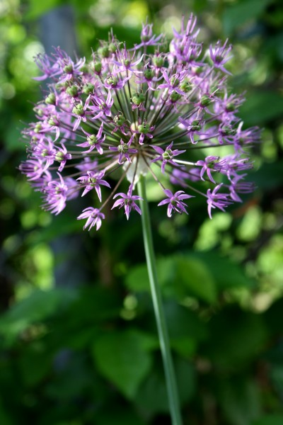 Purple Allium Flower - Free High Resolution Photo