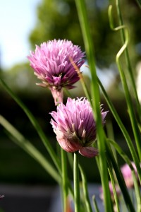 Two Purple Chive Flowers - Free High Resolution Photo