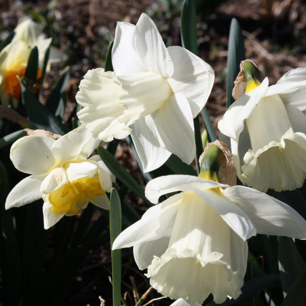 White Daffodils - Free High Resolution Photo