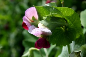 Flowering Snow Peas - Free High Resolution Photo