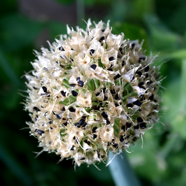 Onion Seed Pod - Free High Resolution Photo
