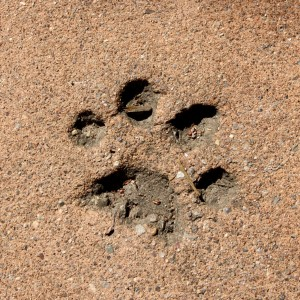 Paw Print in Cement - Free High Resolution Photo