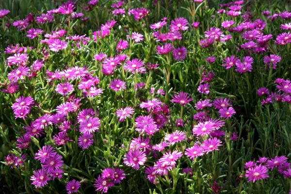 Pink Ice Plant Flowers (Delosperma cooperi) - Free High Resolution Photo