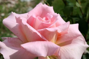 Pink Rose Close Up - Free High Resolution Photo