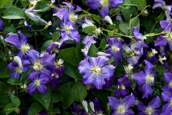 Purple Clematis Flowers (Jackmanii) - Free High Resolution Photo