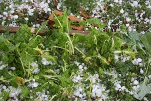 Garden Chard Plants Damaged by Hail - Free High Resolution Photo