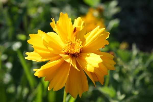 Golden Yellow Coreopsis Flower with Frilly Petals - Free High Resolution Photo