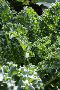 Kale Growing in Garden - Free High Resolution Photo