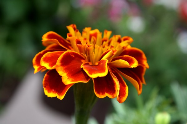 Marigold Flower Close Up - Free High Resolution Photo