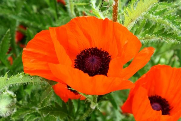 Orange Poppy Flower - Free High Resolution Photo