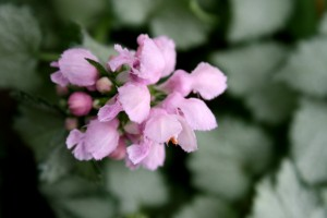 Pink Blossoms on Beacon Silver Dead Nettle Plant - Free High Resolution Photo