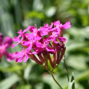 Pink Catchfly Wildflower Blossoms - Free High Resolution Photo