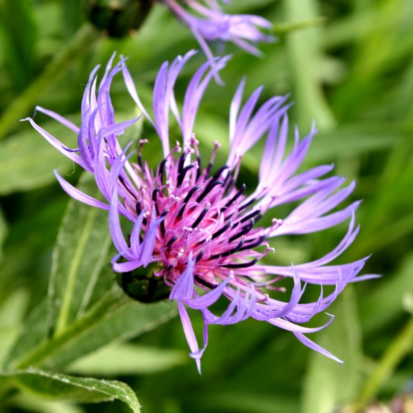 Purple Mountain Cornflower with Spiky Petals - Free High Resolution Photo