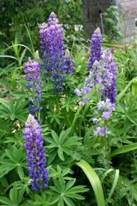 Purple Snapdragon Flowers - Free High Resolution Photo