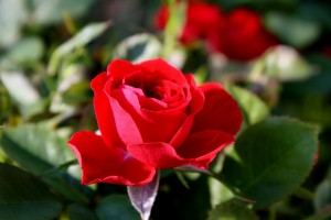 Red Rosebud Opening - Free High Resolution Photo