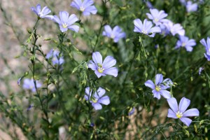 Wild Blue Flax Linum Lewisii Flowers - Free High Resolution Photo