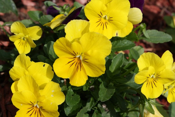 Yellow Pansies - Free High Resolution Photo