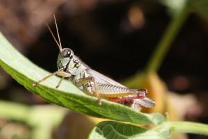 Grasshopper - Free Photo