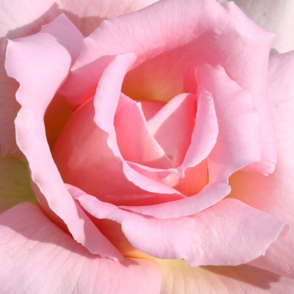 Pink Rose Close Up - Free Photo