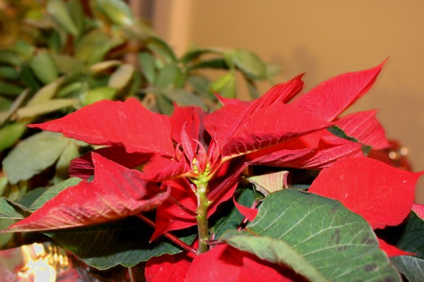 Poinsettia Plant - Free High Resolution Photo