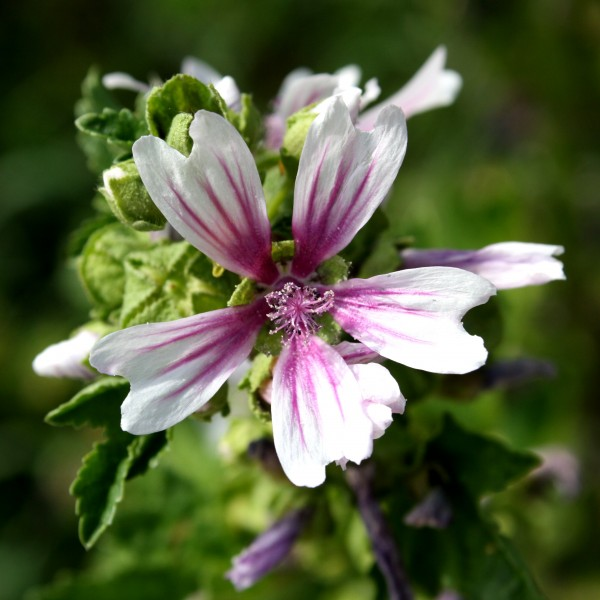White Flower with Pink Stripes. Zebra Mallow. Free High Resolution Photo