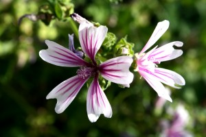 Zebra Mallow Flower Malva Sylvestris with white petals and purple stripes