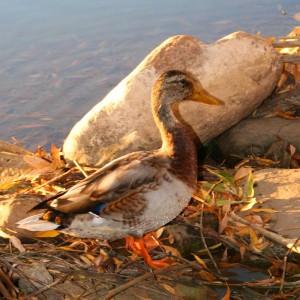 Duck by Edge of Water - Free High Resolution Photo