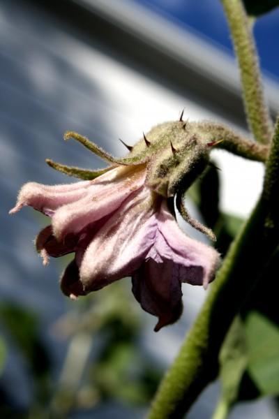 Eggplant Blossom - Free high resolution Photo
