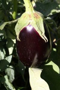 Garden Eggplant - Free high resolution photo