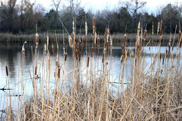 Dry Cattails by Edge of Pond - Free High Resolution Photo