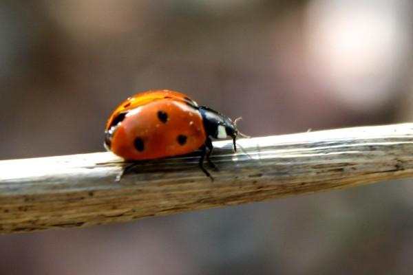Ladybug on a Stick - Free photo