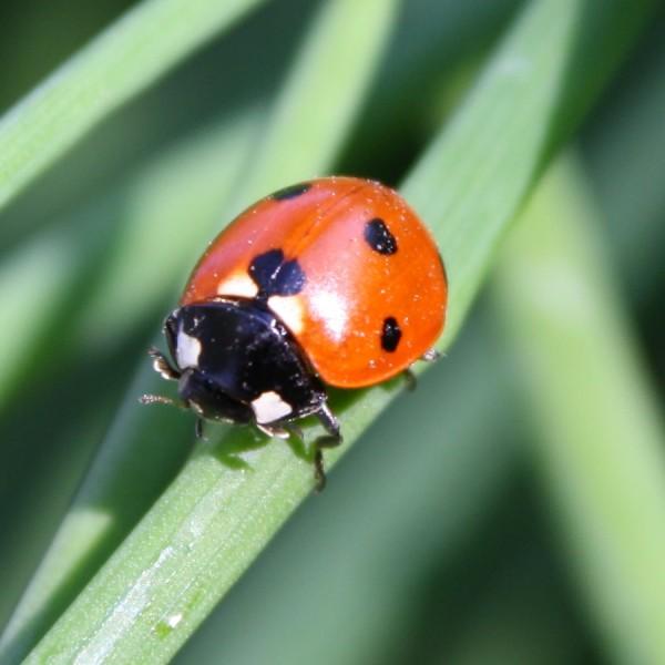 Ladybug on Blade of Grass - Free Close Up Photo