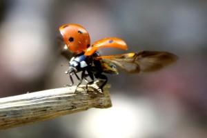 Ladybug Taking Flight - Free photo