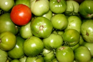 One Ripe Tomato Among Many Green Ones - Free high resolution photo