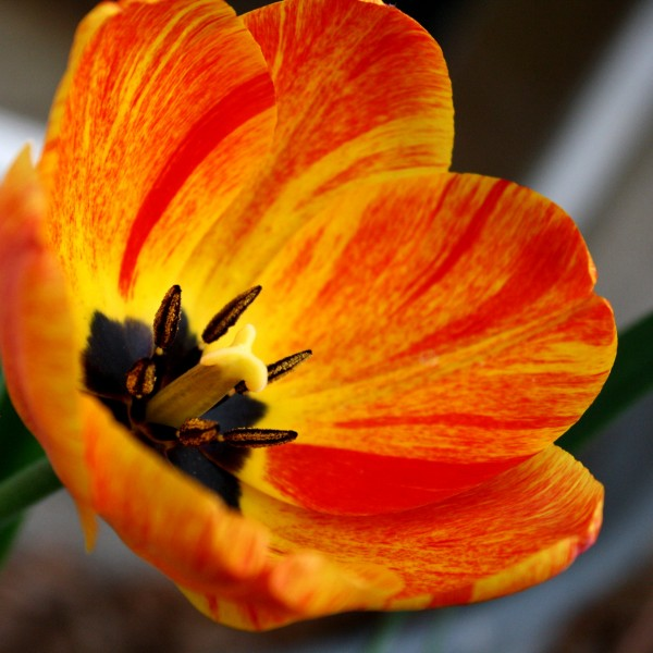 Orange Flame Tulip - Free High Resolution Photo