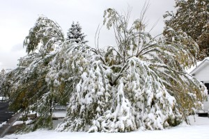 Tree Damaged by Fall Snow Storm - Free High Resolution Photo